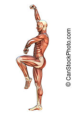 Muscle Maps - 3D digital render of a human figure with...