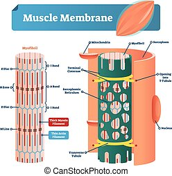 Muscle membrane vector illustration. Labeled scheme with myofibril, disc, zone, line and band. Anatomical diagram with mitochondria, sarcoplasm, reticulum and nucleus.