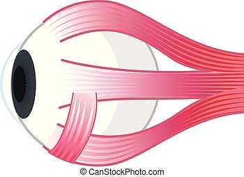 Muscle structure of the eye