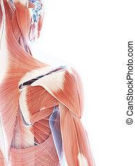 muscle, système, femme
