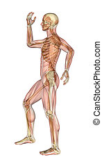 Muscles and Skeleton - Man with Arms and Leg Bent -...