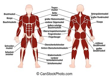 Muscles German Names Chart Muscular Male Body