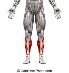 muscles, -, isolé, illustration, anatomie, veau blanc, 3d