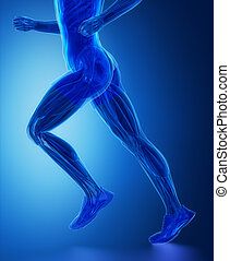 muscles, jambe, -, anatomie, muscle humain