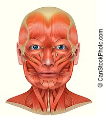 Muscles of the face and neck detailed bright anatomy