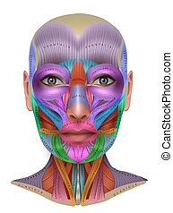 Muscles of the face, colorful anatomy info poster