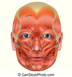 Muscles of the face detailed bright anatomy isolated on a...