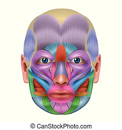 Muscles of the face detailed bright color - Muscles of the...