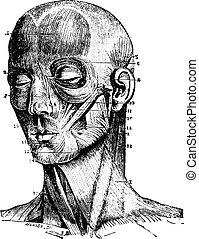 Muscles of the face, vintage engraving.