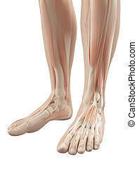 Muscles of the feet - 3d illustration of the muscles of the...