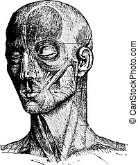 Muscles of the Human Face and Cheek, vintage engraving