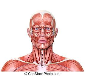 muscles, render, figure, monde médical, fashial, 3d, expression, projection, froncer les sourcils