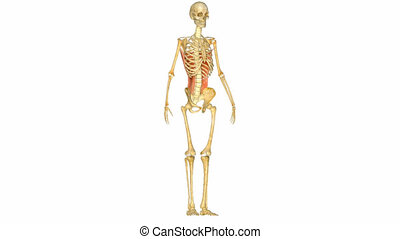 muscles skeleton system