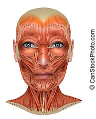 Muscles structure of the female face and neck
