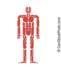 Muscles system human body system. Muscular anatomy?
