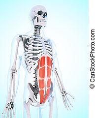 muscolatura, addominale