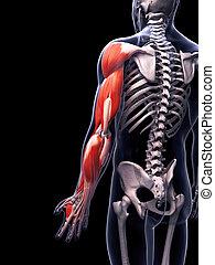 muscolatura, braccio