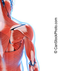 muscolatura maschia