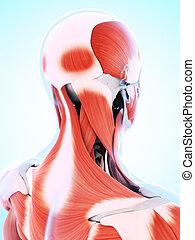 muscolatura, maschio
