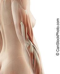 muscoli, braccio, femmina