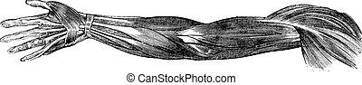 muscoli, mano, vendemmia, illustrazione, umano, tendini, inciso, braccio