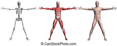 muscoli, maschio, scheletro, umano