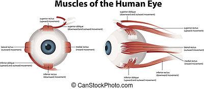 muscoli, occhio, umano