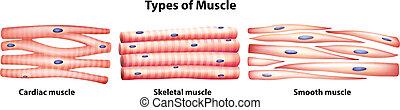 muscoli, tipi