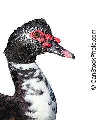 Muscovy duck - muscovy duck (Cairina moschata) on white ...
