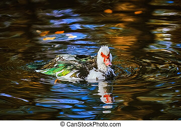 Muscovy duck on the pond
