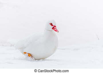 Muscovy Duck on the snow near frozen water