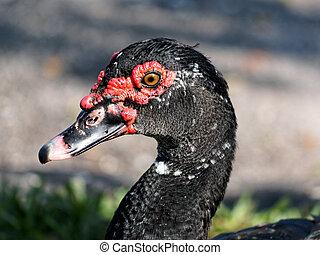 Muscovy Duck Profile Closeup