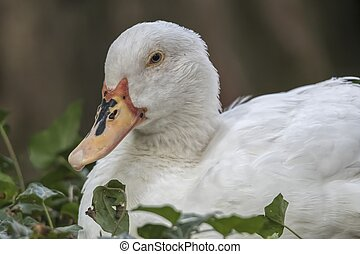 Muscovy duck sleeping on pond