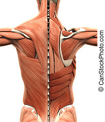 Muscular Anatomy of the Back isolated on white background. 3D render