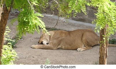 Marvelous side view of a huge female lion lying, licking and eating a chunk of raw meat in a green territory on a sunny day in summer. It looks hungry.