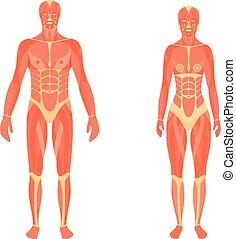 muscular, femininas, macho, sistema, ilustração