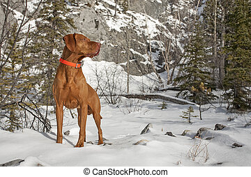 muscular pointing dog outdoors