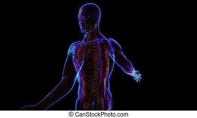 Muscular system - All human body systems. Transition body -...
