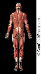 Muscular system anatomy posterior view