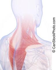 musculatura, cuello