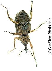 museau, insecte, coléoptère