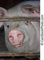 museau, portrait, cochon