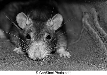 museau, yeux, substrate, disiain, grand, jeune, long, foyer, rongeur, gros plan, rat, base, noir, site, portrait, moustache, toning