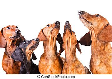 museaux, chiens, isolé, séance, teckel, cinq, blanc