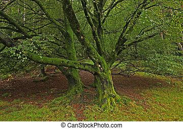 musgo, árbol