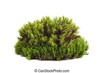 musgo, aislado, primer plano, verde, sphagnum
