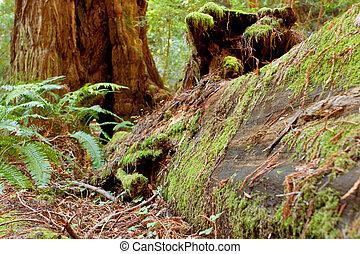 musgo, coberturas, caído, redwood, em, califórnia, floresta
