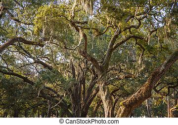 musgo español, en, masivo, viejo, roble, árboles