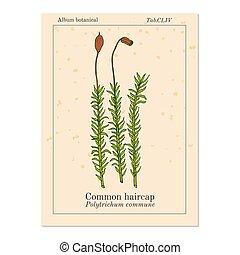 musgo, haircap, común, comuna, medicinal, polytrichum, ...