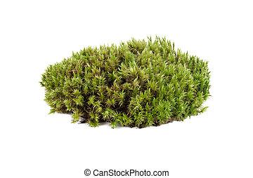 musgo, natural, sphagnum, primer plano, verde, aislado